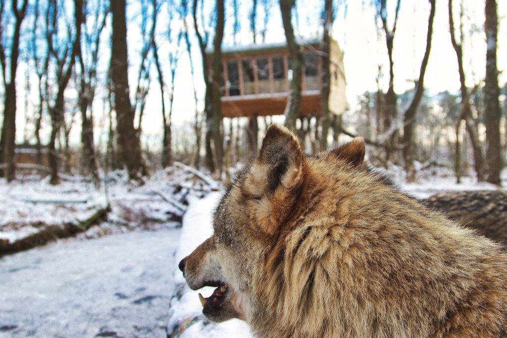übernachten bei wölfen
